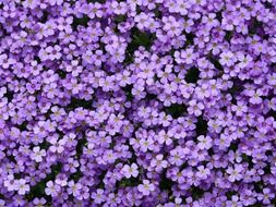 blue pillow of the flowers Aubrieta