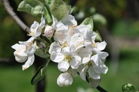 spring apple blossom closeup