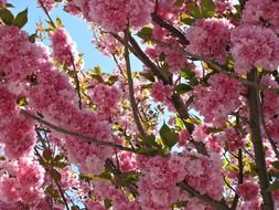 beautiful tree with pink cherry blossoms in spring