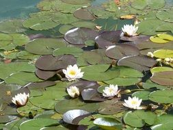 pond white water lilies