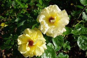 Two white rose buds