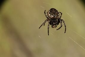 black spider weaves a web
