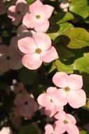 pink dogwood in summertime