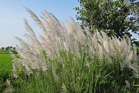 very beautiful kans grass