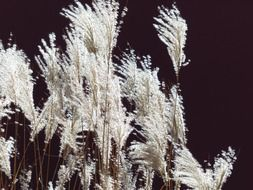 miscanthus sinensis with a back light