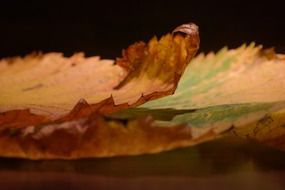 withered elm leaf