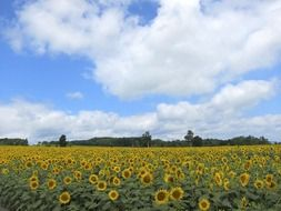 white clouds over a field with sunflowers