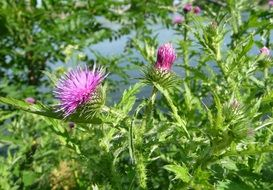 welted thistle, blooming plant