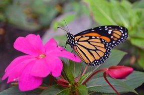 monarch butterfly on the pink flower