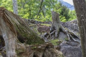 wild red deer in a forest