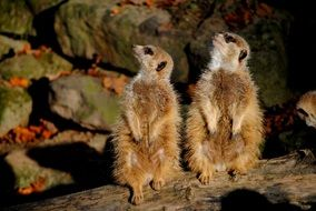 Photo of meerkats in the zoo