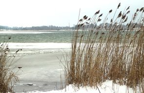 dry cane on the shore of a snowy lake