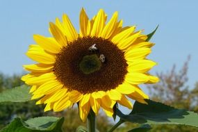 incomparable sunflower plant