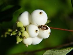 common snowberry symphoricarpas albus
