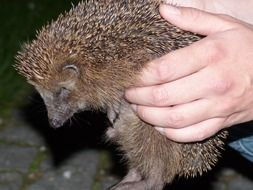 Western European hedgehog