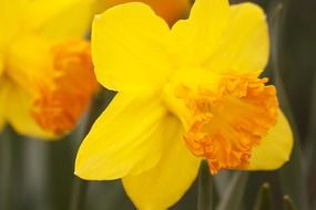 bright yellow daffodils close-up