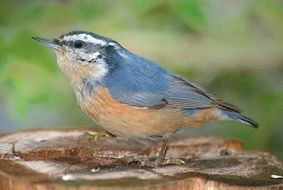 nuthatch in wildlife