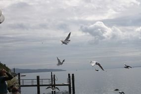 Gulls fly over Lake Constance
