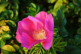 blossom of a wild pink rose