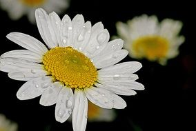 daisy flower white