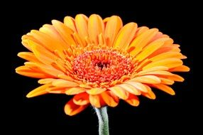orange gerbera in black background