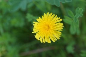 yellow dandelion macro view