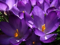 spring purple crocus flower macro
