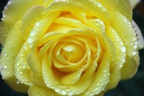 yellow rose bud in water droplets