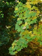 mountain maple with green leaves