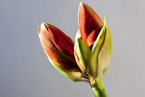 amaryllis red flower