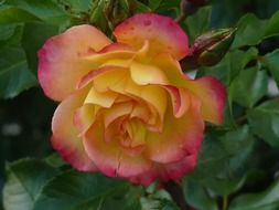 pink and yellow rose blooming in the garden