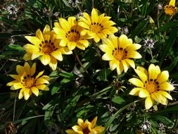 yellow gazania on stalks