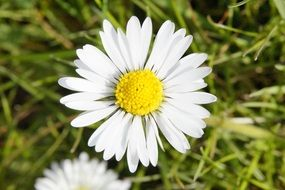 daisy wildflower on a meadow