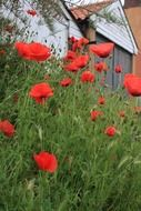 poppies in the front garden