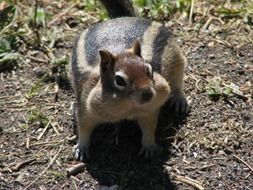 wild squirrel in Yellowstone National Park