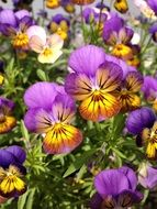 garden pansy, colorful flowers