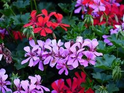 purple and red geranium flowers
