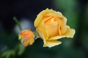 yellow tender rose flower
