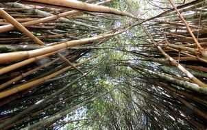 bamboos bamboo grove forest