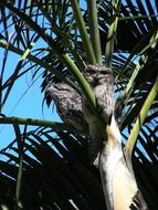 tawny frogmouth tropical birds on the tree
