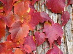 red grape leaves in autumn close up