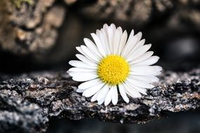 white daisy pointed flower blossom
