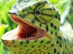 chameleon with opened mouth