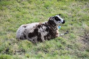 sheep lamb at field lying livestock