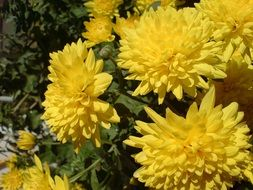 yellow chrysanthemums at sun