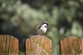 sparrow perched on fence