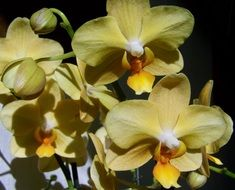 pale yellow orchids close up