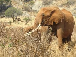 wild brown african elephant