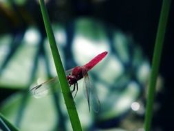 pink dragonfly on a green stem