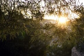 sunlight in pine tree needles